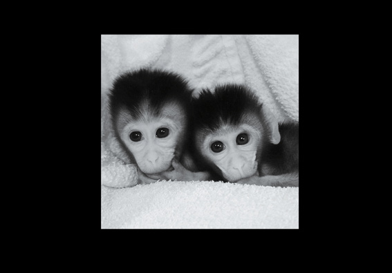 Above: The genomes of these twin infant macaques were modified with multiple mutations.