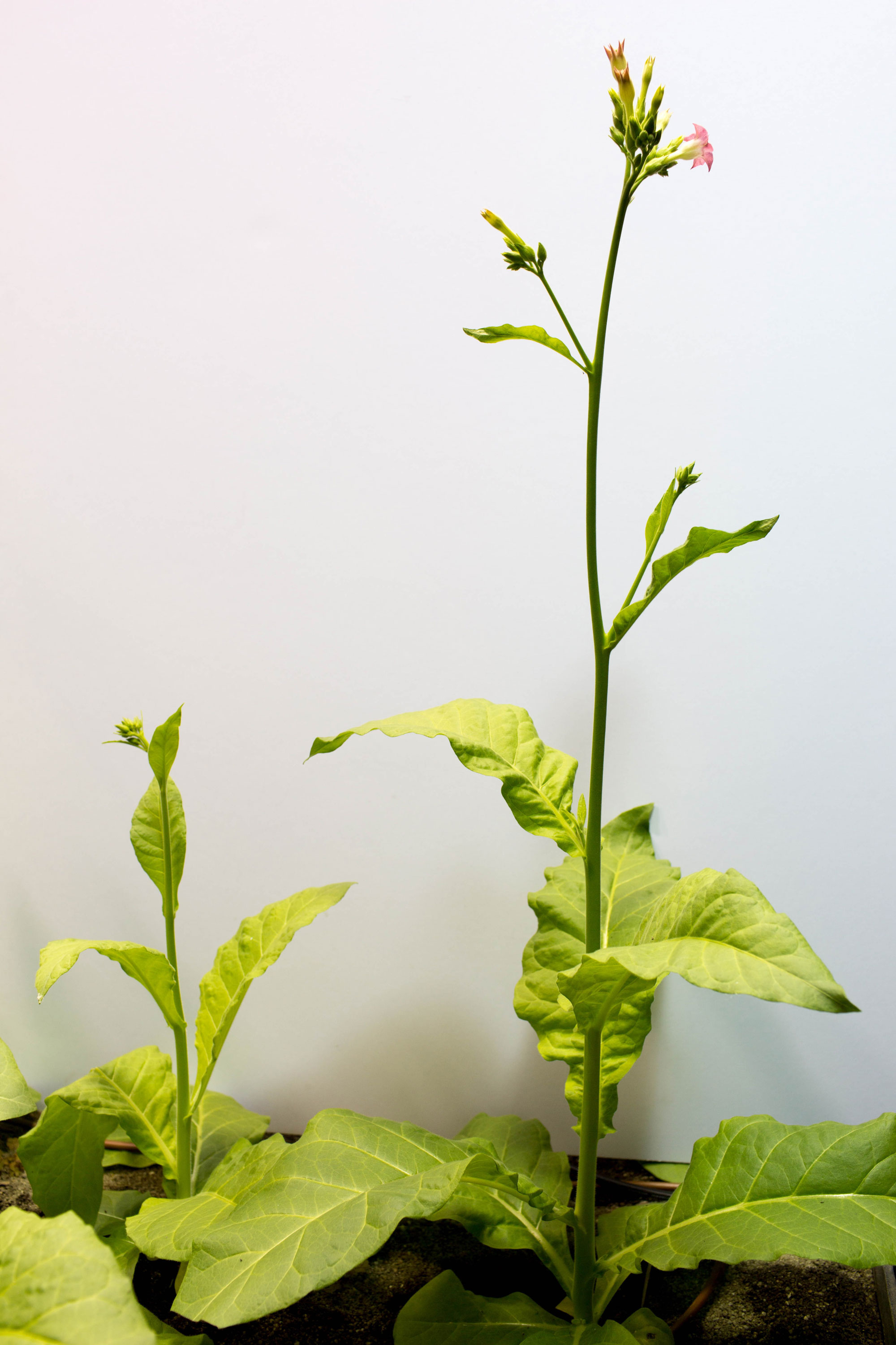 Photo of bioengineered tobacco plants