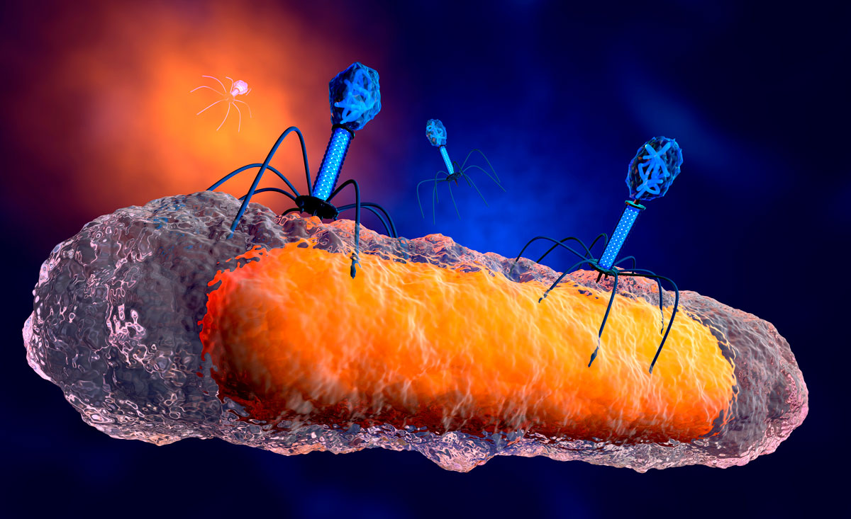Phages attacking a bacterium