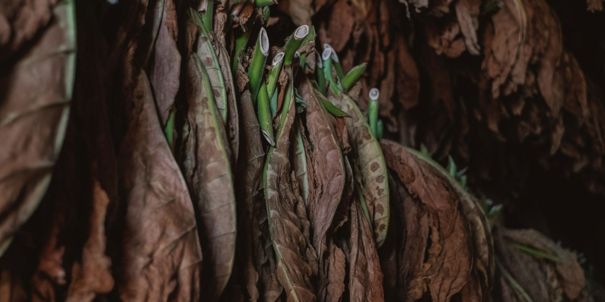 A material derived from tobacco is as strong as wood or plastics
