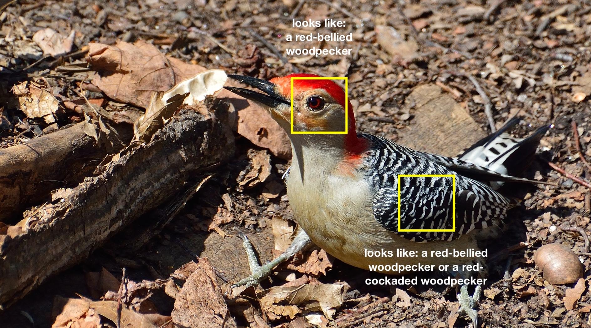 A red-bellied woodpecker