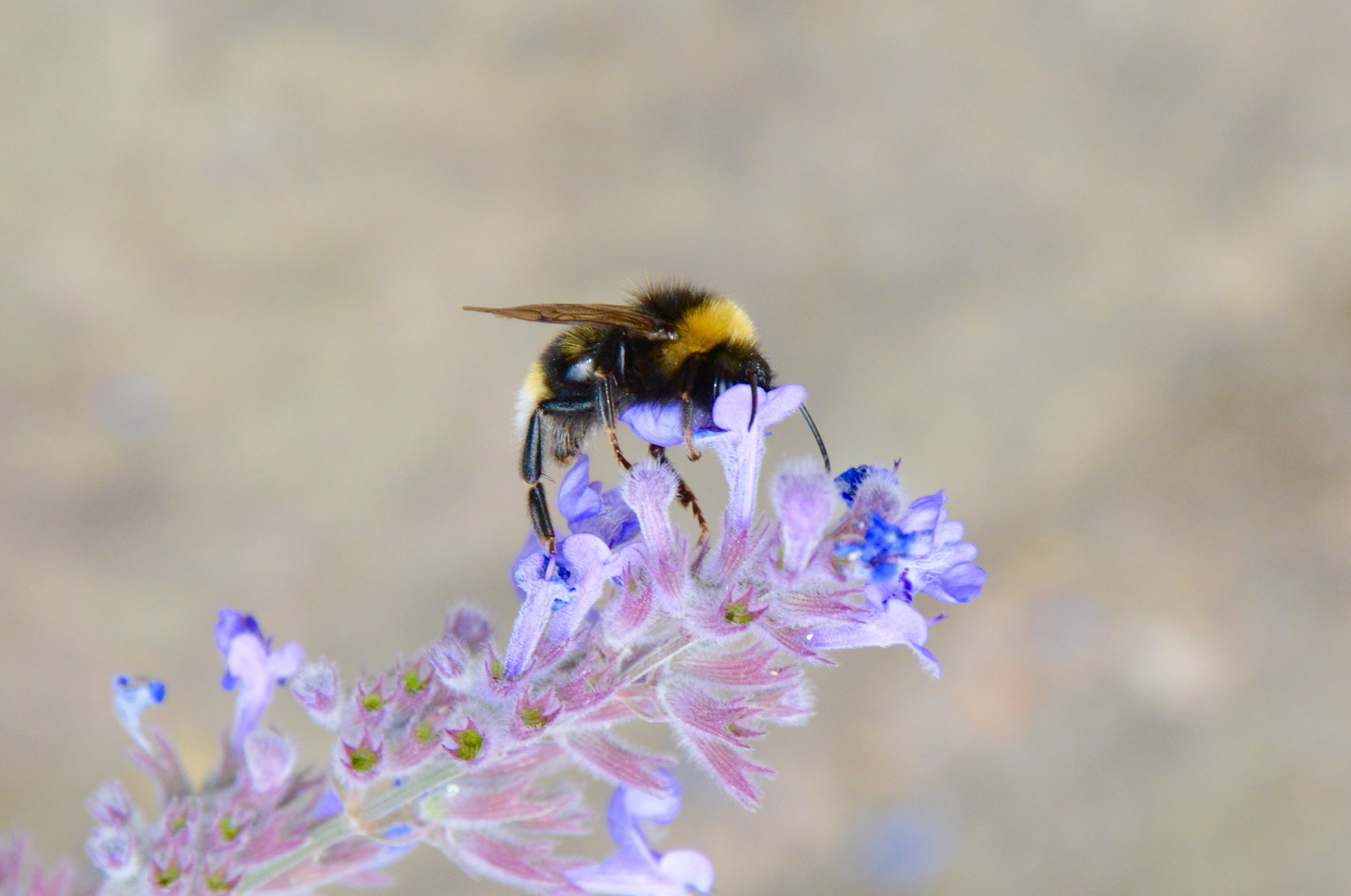 The Bombus terrestris, or buff-tailed bumblebee.
