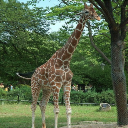 A giraffe standing near a tree.