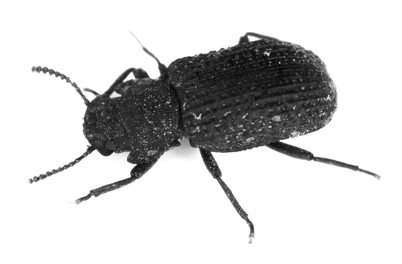 Escarabajo saproxílico