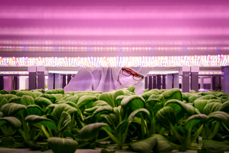 یک کارگر VertiVegies گیاهان را بازرسی می کند