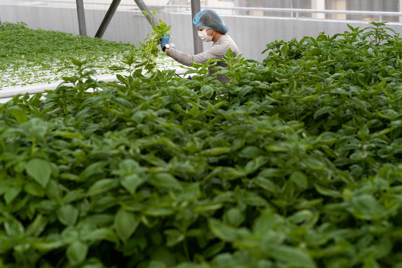کارگر بازرگان در حال برداشت سبزه