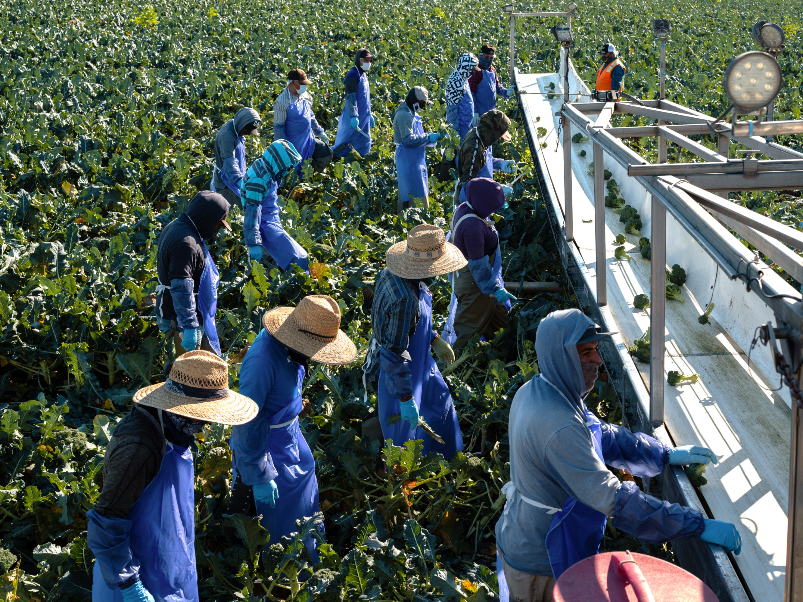 workers harvest broccoli