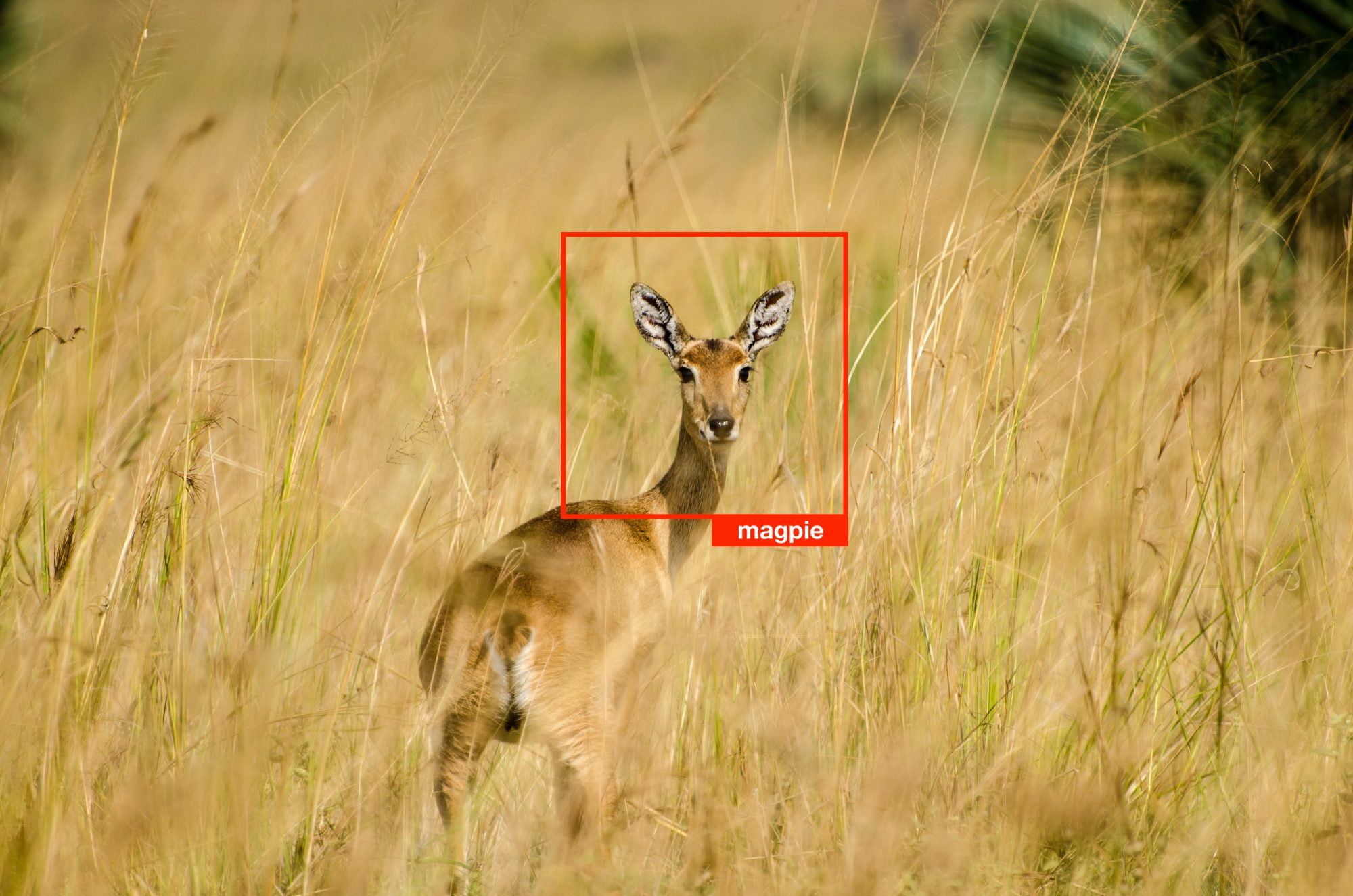 A gazelle labeled as a magpie