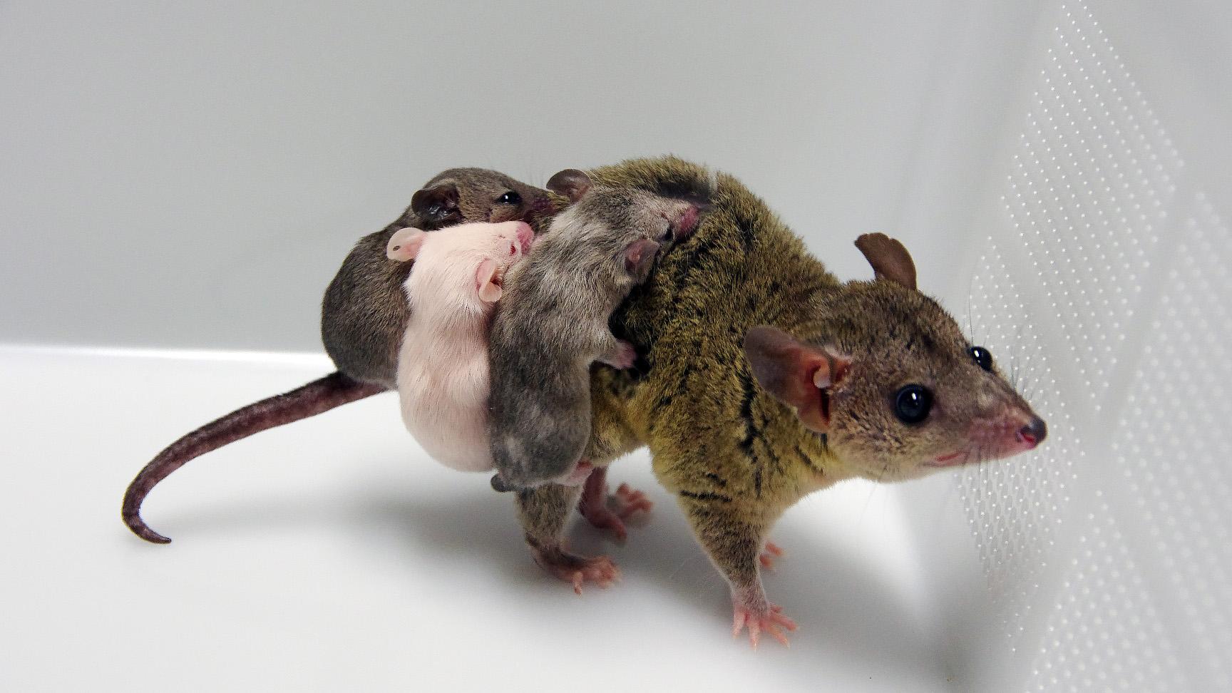 marsupial mom and babies