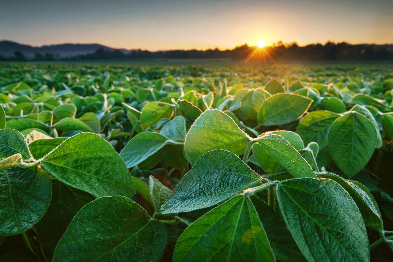 crop field in early morning light