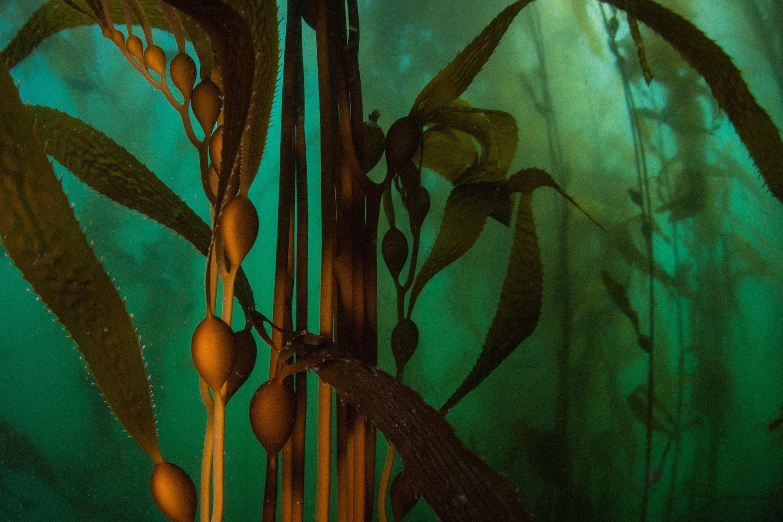 Giant Kelp in Monterey Bay
