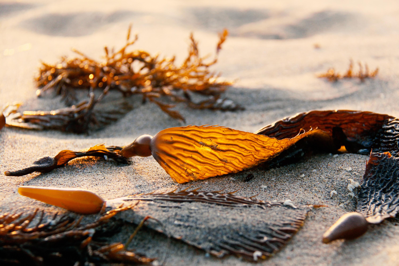 brown algae on beach in northern CA