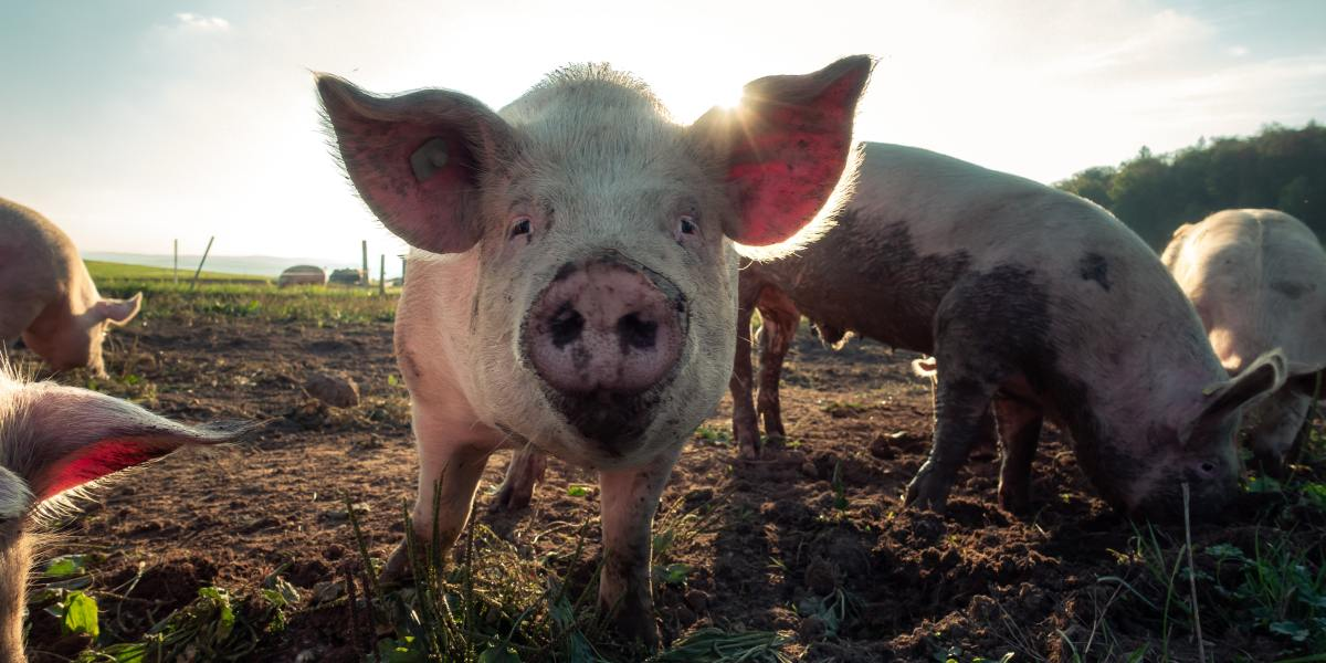 Surgeons have successfully tested a pigs kidney in a human patient